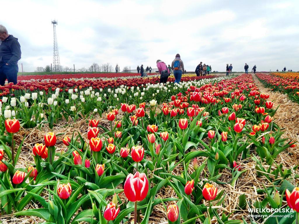 IX Międzynarodowe Targi Tulipanów 2017 Chrzypsko Wielkie [ZDJĘCIA, FILM]