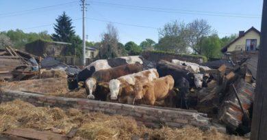 Całkowicie zawalił się budynek gospodarski, wktórym przebywała duża liczba bydła.