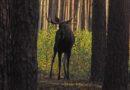 Byk łosia w okolicznych lasach ! Czyli niezwykła przygoda Pana Adama [ZDJĘCIA, FILM]