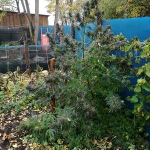 W ogródku plantacja, na strychu suszarnia
