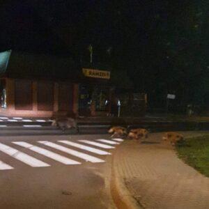 Nowy Tomyśl: Dziki w centrum miasta