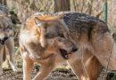 Uwaga! Bliskie spotkania z wilkiem
