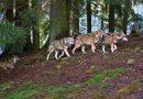Kampania informacyjna na temat wilka – pismo Departamentu Ochrony Przyrody