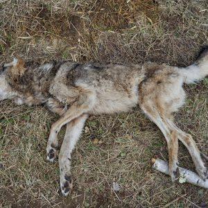 Martwy wilk znaleziony na polu.